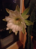 Night blooming Cereus–very rare event